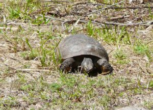 A gopher tortoise from Florida.