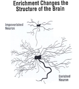 enrichment-changes-brain-structure