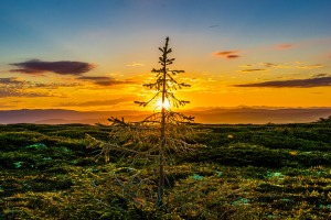 sunset-pine