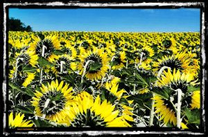 field of sunflowers with blue sky overhead