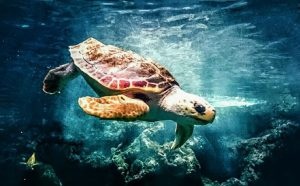 swimming turtle under water