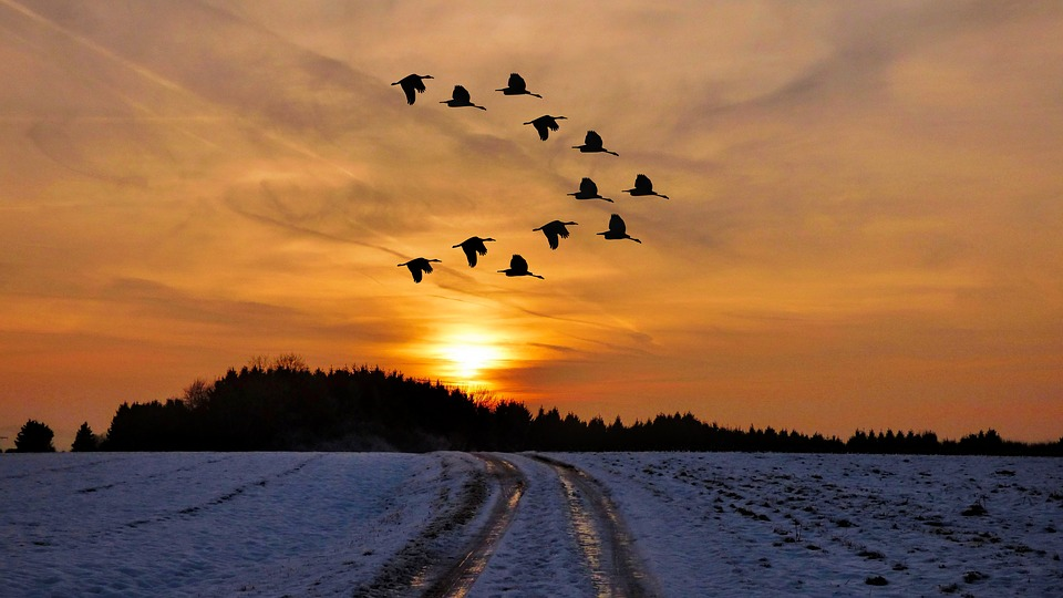 winter sunset with geese flying