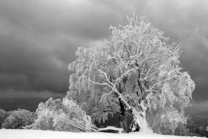 winter frost tree down